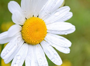 April Birth Flower - Daisy