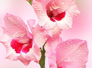 August Birth Flower - Gladiolus