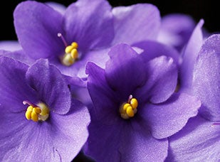 February Birth Flower - Violet
