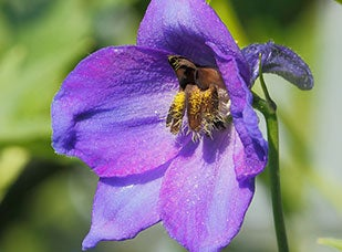 July Birth Flower - Larkspur