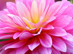 November Birth Flower - Chrysanthemum
