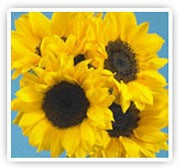 Traditional Sunflower