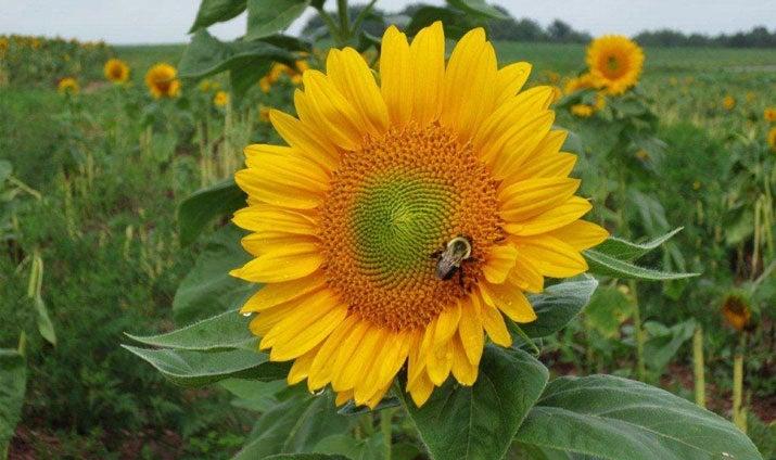Sunflowers Thumbnail