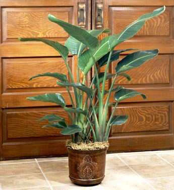 Bird of Paradise Floor Plant