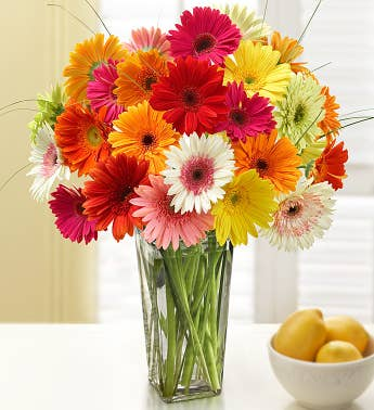 Gerbera Daisy Bouquet 12-24 Stems