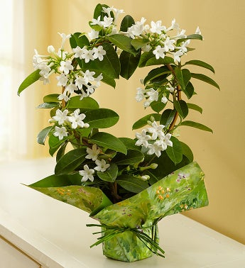 Stephanotis Plant