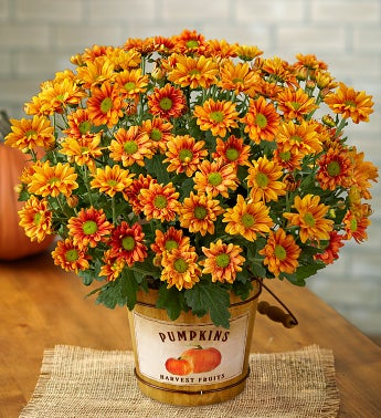 Pumpkin Patch Mum Plant