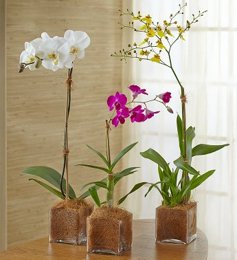 Grower's Choice Orchid