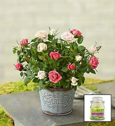 Summer Garden Rose + Free Candle