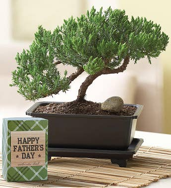 Father's Day Juniper Bonsai