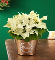 Peace on Earth Poinsettia