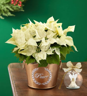Peace on Earth White Poinsettia