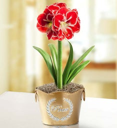 Holiday Traditions Amaryllis