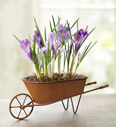 Lovely Wheelbarrow of Bulbs + Free Gloves