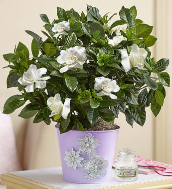 Graceful Gardenia
