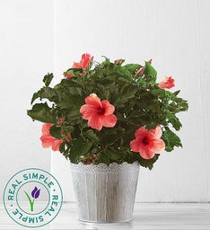 Tropical Pink Hibiscus Plant by Real Simple®