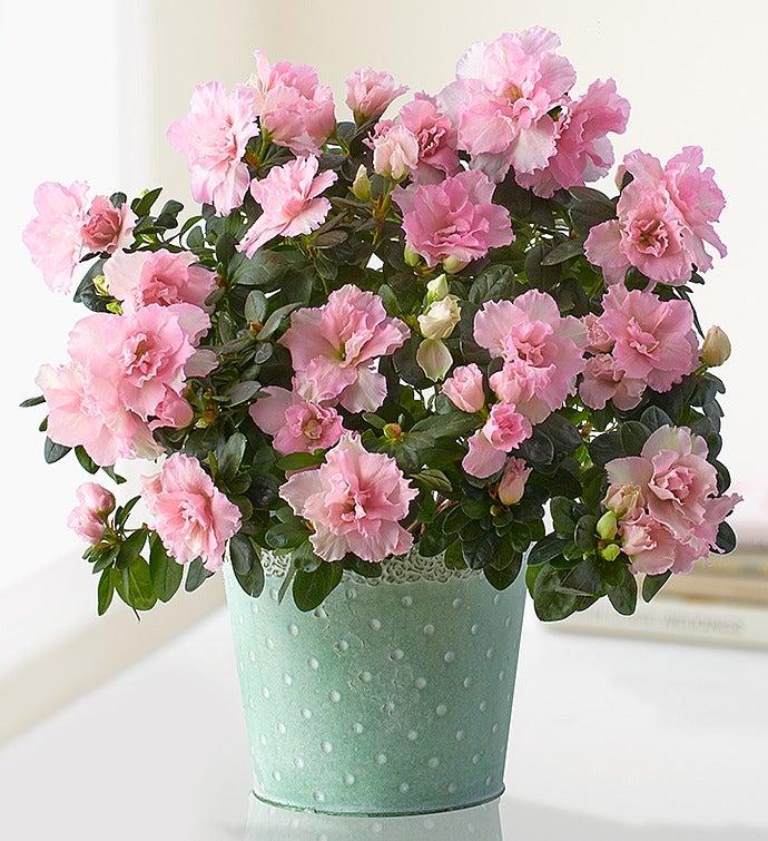 Mom's Precious Pink Azalea
