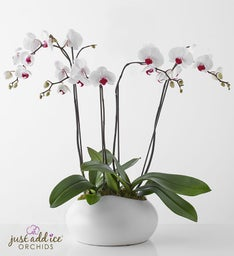 Beauty White Phalaenopsis Orchid By Issac Mizrahi