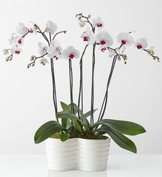 Beauty - Phalaenopsis Orchid by Isaac Mizrahi
