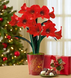 Good Cheer Amaryllis + Free Candle