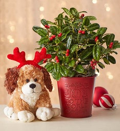 Joy to the World Holly Plant