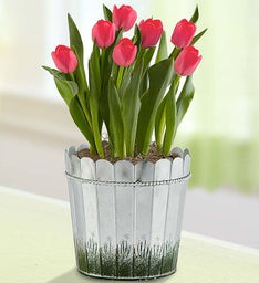 Spring Country Tulips
