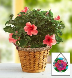 Tropical Pink Hibiscus Plant