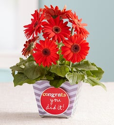 Congrats You Did It Gerbera Daisy