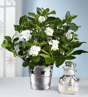 Starry Night Gardenia