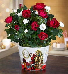 Christmas Magic Rose