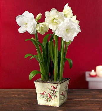 Winter White Amaryllis