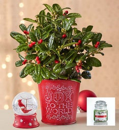 Joy to the World Holly Plant + Free Candle