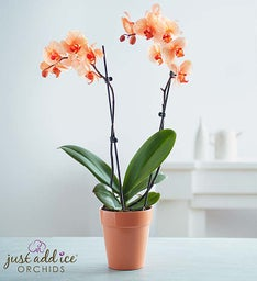 Outstanding Orange Orchid + Free Shipping