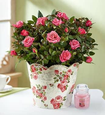Clic Budding Rose Plant
