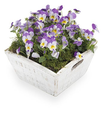 Popular Pansies