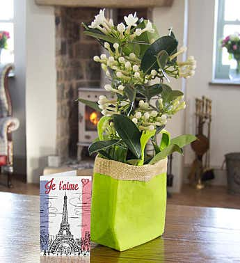 Stephanotis Gift Bag Bouquet