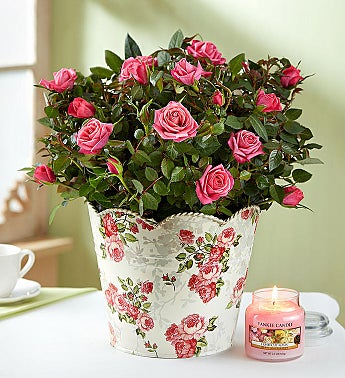 In Loving Memory Classic Rose Plant