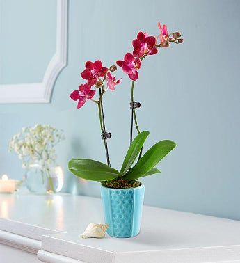 Mini Coral Reef Orchid