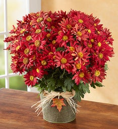 Magnificent Autumn Mum