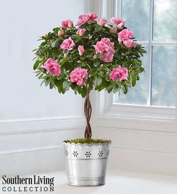 Azalea Topiary by Southern Living™