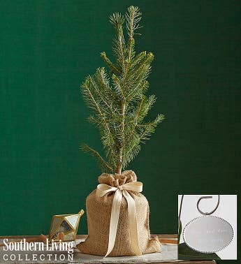 Colorado Blue Spruce Tree by Southern Living™