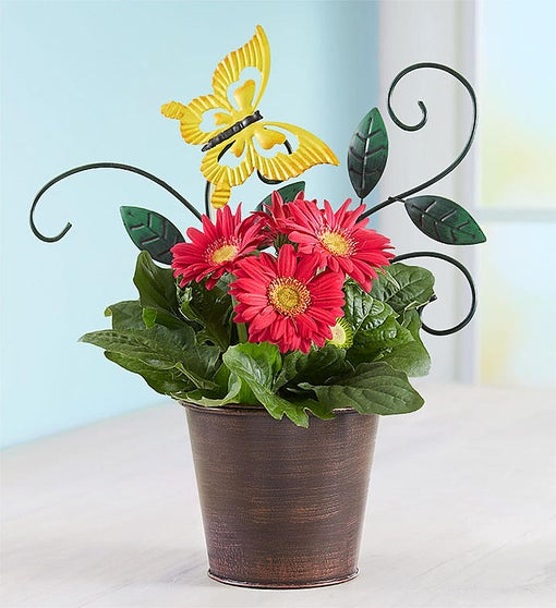 Cheerful Butterfly Blooms Gerbera Daisy