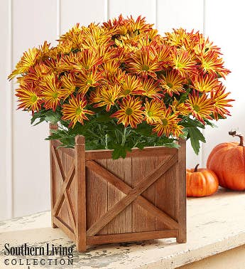 Fall Harvest Mum by Southern Living