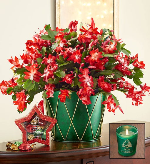 Christmas Cactus Plant + Free Candle