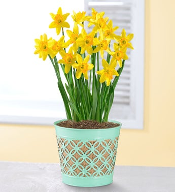 Delightful Daffodil Bulbs