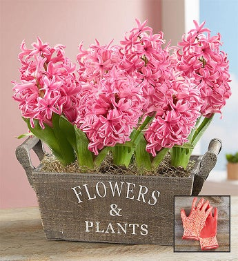 Heavenly Hyacinth  Free Gloves