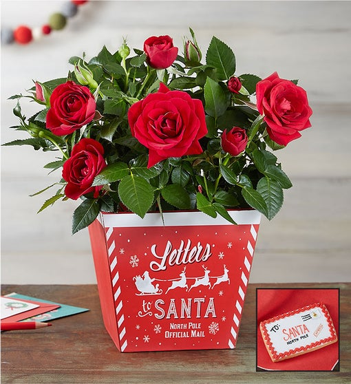 Letters to Santa Red Rose Plant