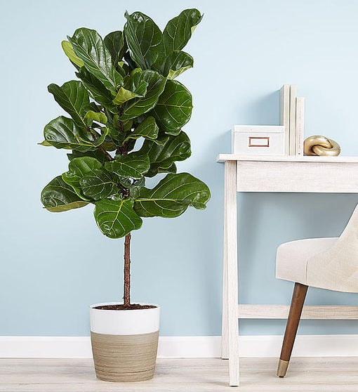 Fiddle Leaf Fig Floor Plant for Sympathy
