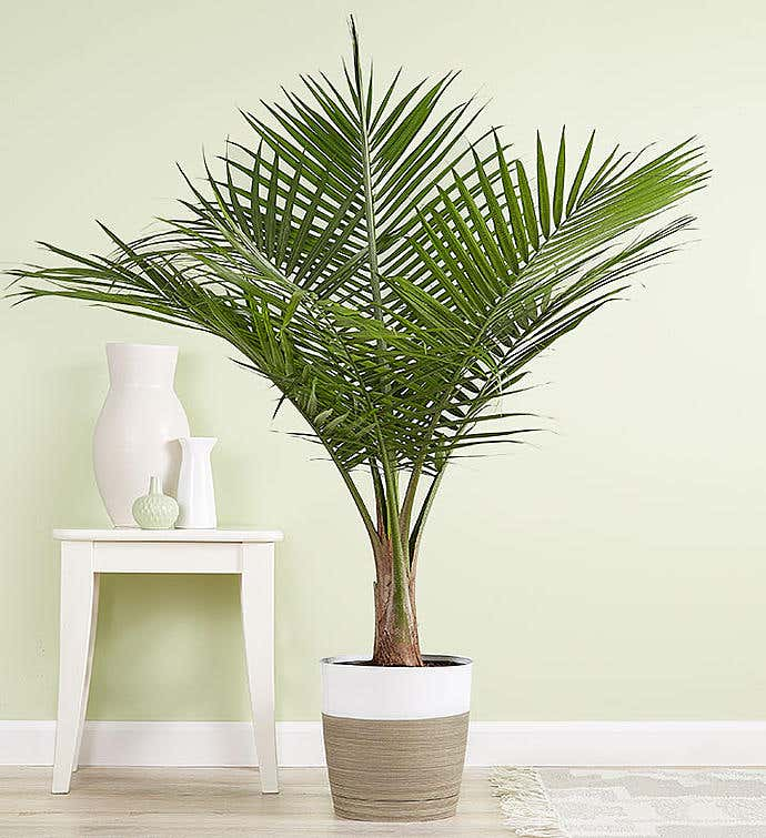 Majesty Palm Floor Plant
