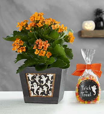 Trick or Treat Kalanchoe Plant